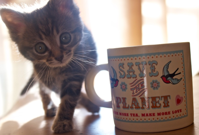 cute, kitten, stare, beautiful, markings, tea, mug, eyes, cat, naughty