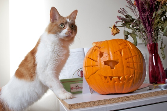 Miko, Cute, Cat, Pumpkin, halloween