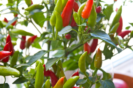 Chilli Plant, gluten free blog uk, gluten free